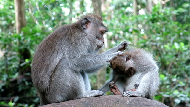 wild macaque monkey (macaca fascicularis) family grooming - ubud stock videos & royalty-free footage
