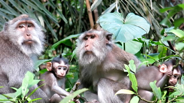 wild macaque monkey (macaca fascicularis) family grooming - four animals stock videos & royalty-free footage