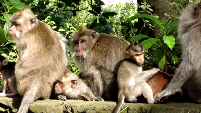 wild macaque monkey (macaca fascicularis) family grooming - grooming stock videos & royalty-free footage