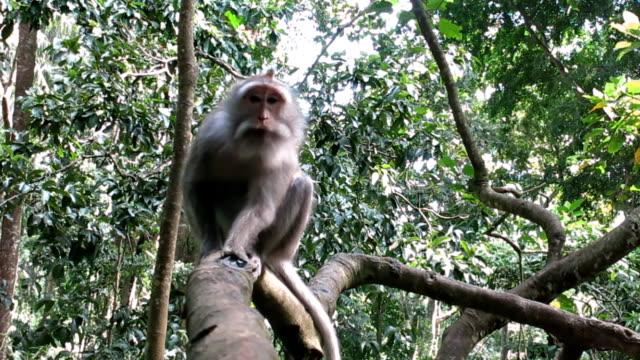 野生サル (カニクイザル) 木 - 一匹点の映像素材/bロール