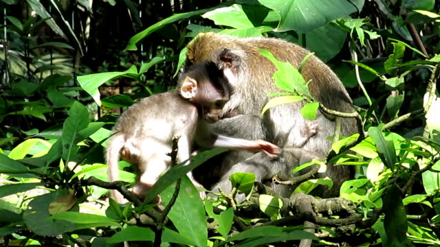 Wild Macaque Monkey (Macaca fascicularis) Mother and Baby