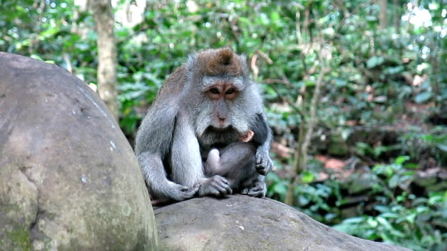 Wild Macaque Monkey (Macaca fascicularis) Mother and Newborn