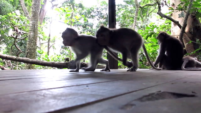 Wild Macaque Monkeys (Macaca fascicularis) Playing