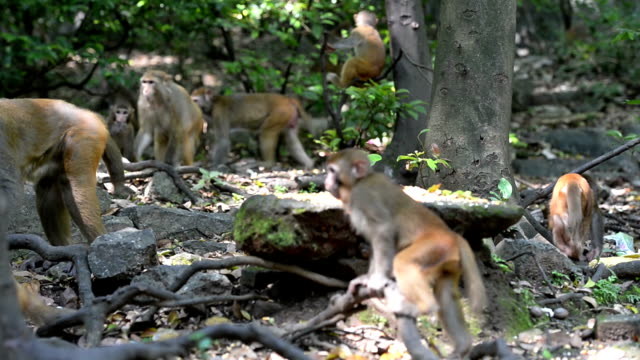 Wild macaque population