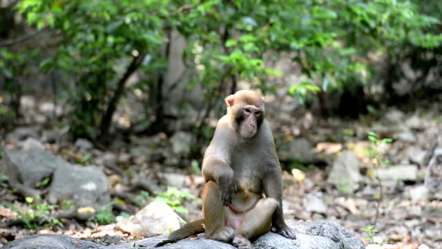 Wild macaques of daily life- Monkey King