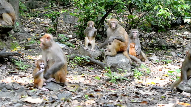 Wild macaques of daily life