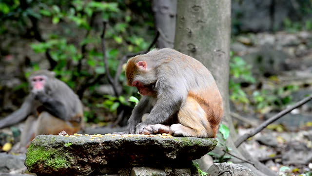 Wild macaques of daily life-eatting food
