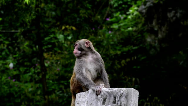 wild macaques of daily life-monkey sitting there - macaque stock videos & royalty-free footage