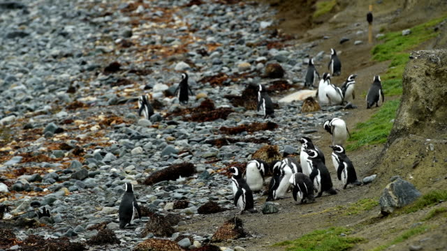 Wild Magellan Penguins