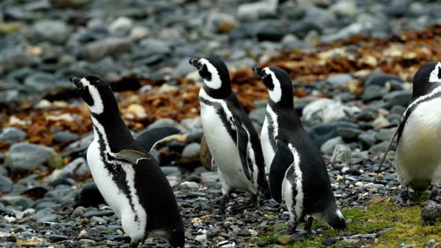 stockvideo's en b-roll-footage met wild magellan penguins - chile