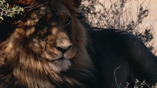 wild male lion in africa - south africa stock videos & royalty-free footage