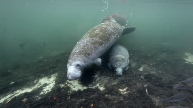 Wild Manatee Calf nursing on mother