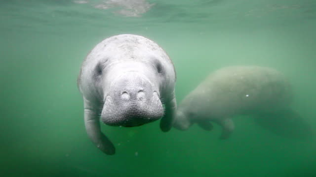 wild manatees - lamantino video stock e b–roll
