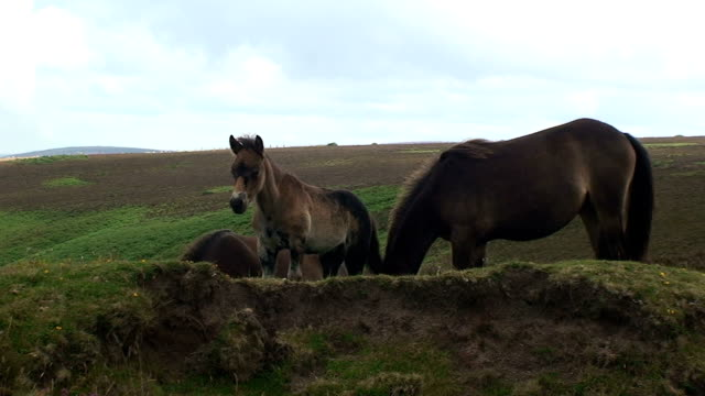 wild mare with foul - exmoor national park stock videos & royalty-free footage