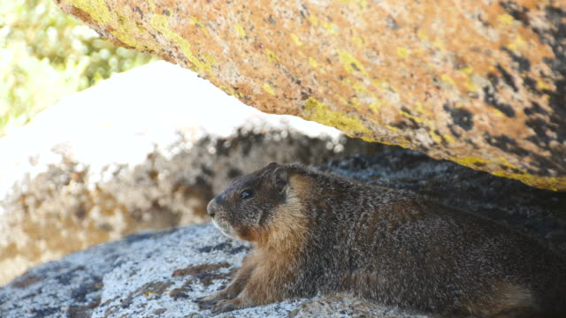 Wild Marmot Basking in Sunshine