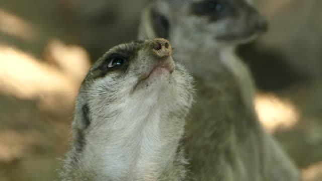 vídeos de stock, filmes e b-roll de selvagem suricato - boa postura