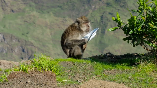 Wild Monkey Licks Plate Stolen From Tourists Camp
