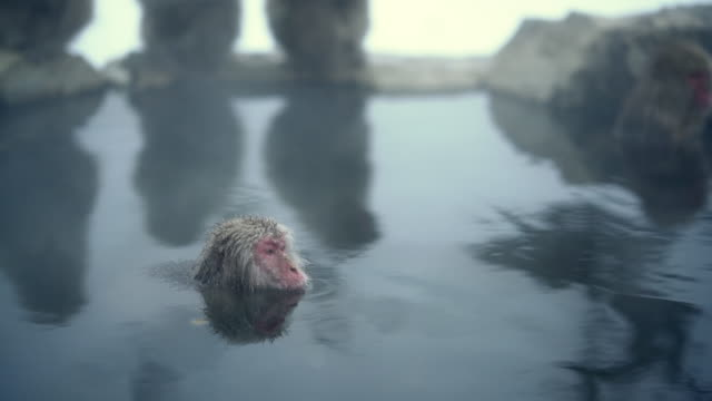 wild monkeys at jigokudani hot spring onsen - wildtier stock-videos und b-roll-filmmaterial
