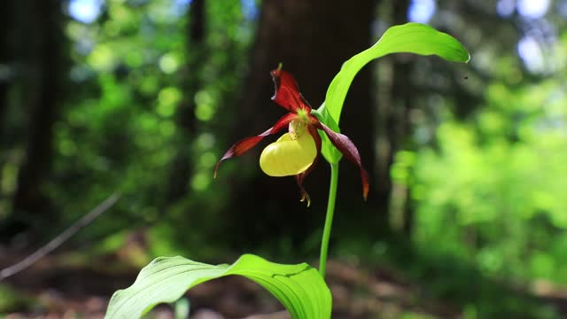 wild mountain flower known as the lady's slipper orchid grows in the chartreuse mountains on june 10, 2021 in entremont-le-vieux, france. these rare... - flower head stock videos & royalty-free footage