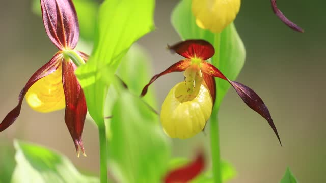 wild mountain flowers known as the lady's slipper orchid grow in the chartreuse mountains on june 10, 2021 in entremont-le-vieux, france. these rare... - flower head stock videos & royalty-free footage