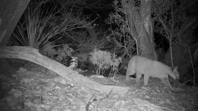 wild mountain lions captured on a trail camera - puma stock videos & royalty-free footage