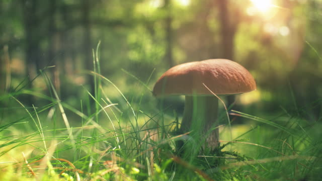 wild mushrooms in sunny forest - mushroom stock videos & royalty-free footage