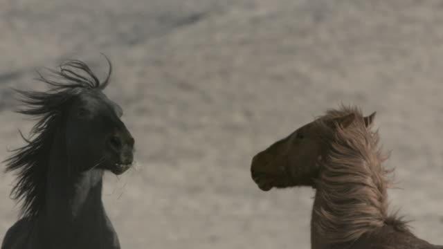 vídeos y material grabado en eventos de stock de wild mustand horses kicking at each other - patadas