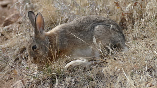 wild nuttall's cottontail rabbit feeds on mount falcon morrison colorado - cottontail stock videos & royalty-free footage
