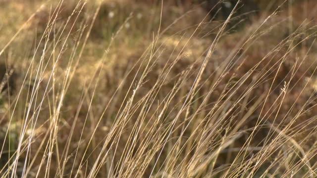 wild oat grass weeds - prairie stock videos & royalty-free footage