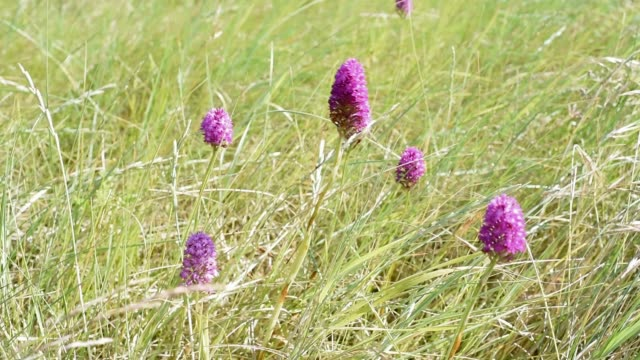 wild orchids on the dunes - sand dune stock videos & royalty-free footage