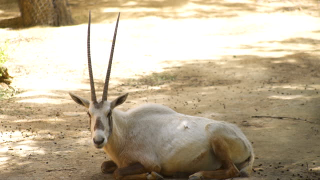 A wild oryx resting while he is watching to the camera