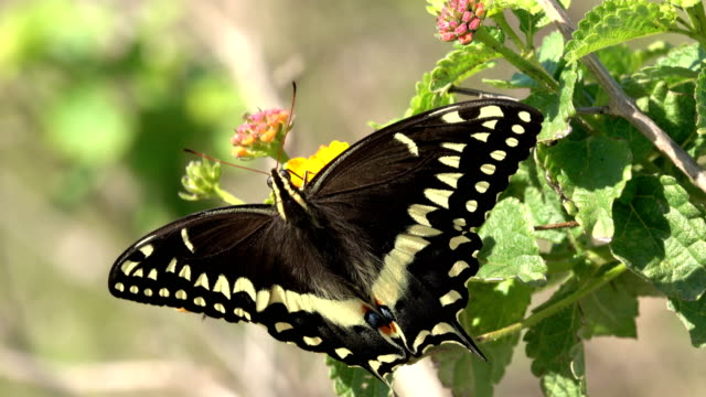 vidéos et rushes de wild palmedes black machaon papillon texas lantana fleurs aransas national wildlife refuge - gulf coast states