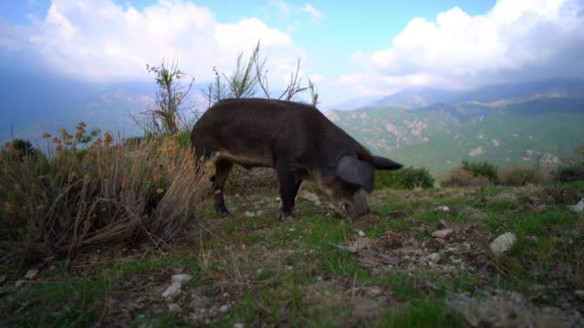 wild pig is seen eating grass in a mountain, on september 17, 2020 in corsica, france. - pig stock videos & royalty-free footage