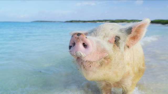 stockvideo's en b-roll-footage met wild pig on the beach uninhabited bahamas island - varken