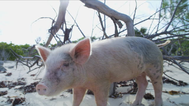 wild piglet on tropical island beach bahamas caribbean - animal attribute stock videos and b-roll footage