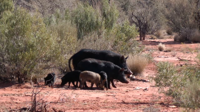 stockvideo's en b-roll-footage met wild pigs - varken