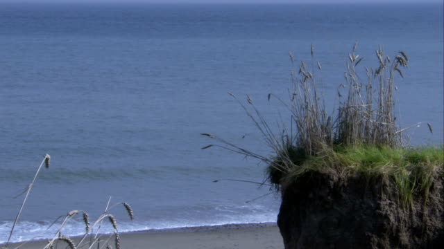 vidéos et rushes de wild plants grow on a clump of land above an eroded north sea beach. available in hd. - mer du nord