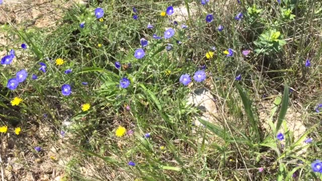 vidéos et rushes de wild plants in kaliakra nature reserve - the only site in bulgaria, which keeps the remaining eastern dobrudzha steppe - eastern european culture