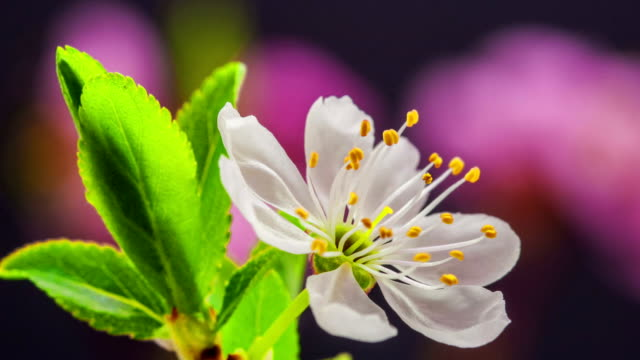 wild plum flower blooming against black background in a time lapse movie. prunus cerasifera growing in moving time lapse. - plum stock videos & royalty-free footage