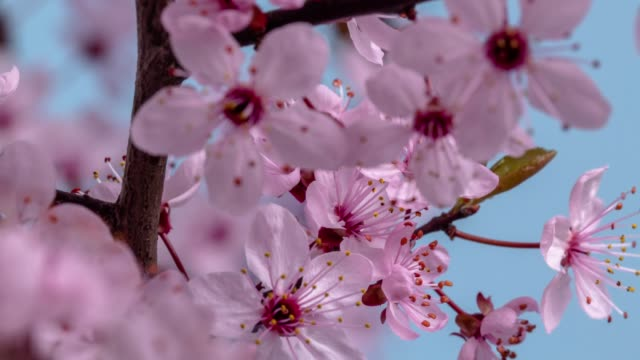 stockvideo's en b-roll-footage met wilde pruim bloem bloeien tegen blauwe achtergrond in een time lapse film. prunus americana groeit in time-lapse. -stock video - bloeien tijdopname
