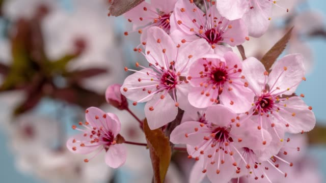 wild plum flower blooming against blue background in a time lapse movie. prunus americana growing in time-lapse. - stock video - fast motion stock videos & royalty-free footage