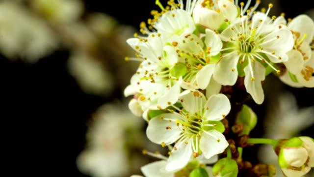 vilda plommon blomma blommar och roterar i ett 4k tid förfaller mot svart bakgrund med två axel rörelse. - ståndare bildbanksvideor och videomaterial från bakom kulisserna