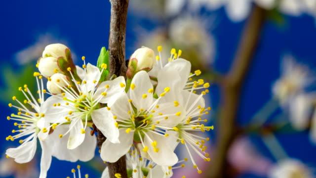 vídeos y material grabado en eventos de stock de flor de ciruelo silvestre florece y rotación en un lapso de 4k contra fondo azul con movimiento de dos ejes. - pistilo