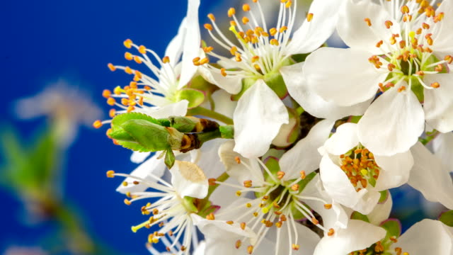 wild plum flower blooming and rotating in a 4k time lapse against blue background with two axis motion. - plum stock videos & royalty-free footage