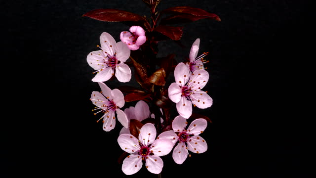Wild plum flower blooming in a 4K time lapse against black background..