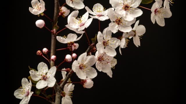 wilde pflaume blume blüht in einem horisontalen format zeitraffer 4k video.  steinfruchtblüten im frühling. - pflaume stock-videos und b-roll-filmmaterial