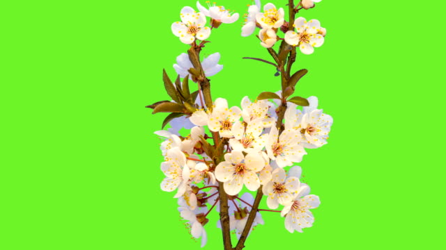 wild plum flower blooming in a time lapse against chroma key. - alpha channel stock videos & royalty-free footage
