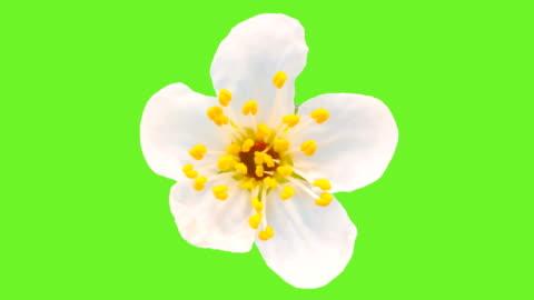vídeos de stock, filmes e b-roll de flor de ameixa selvagem floresce em um lapso de tempo contra croma. - cabeça da flor
