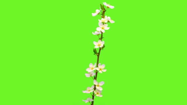 Wild plum flower blooming in a time lapse against chroma key.