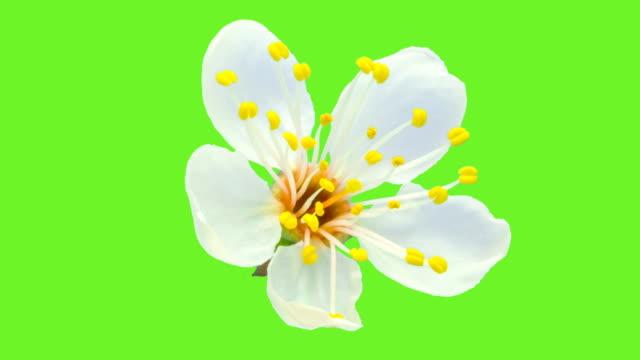 vídeos de stock, filmes e b-roll de flor de ameixa selvagem floresce em um lapso de tempo contra croma. - pétala